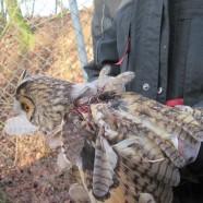 Wölflinge der Pollution Police retten Waldohreule